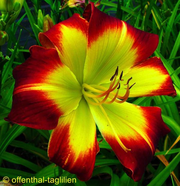 Hemerocallis / Taglilie 'With Or Without You'