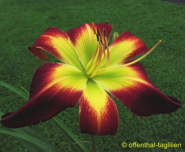 Hemerocallis / Taglilie 'With Or Without You' 2