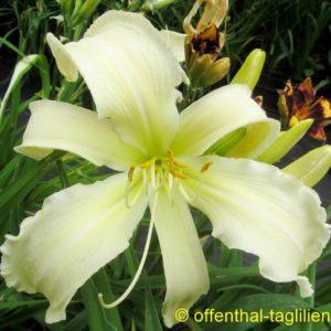 'Heavenly White Lightening'
